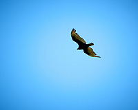 Turkey Vulture.Image taken with a D2xs camera and 200-400 mm f/4 VR lens.