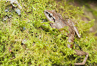 Pastures rainfrog (Cutín de potrero), Pristimantis achatinus, on a moss-covered branch in Tandayapa Valley, Ecuador