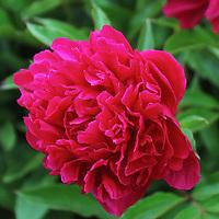 """Peony in Fuchsia""<br /> <br /> Wonderful deep hued Fuchsia Peony!!<br /> <br /> Flowers by Rachel Cohen"
