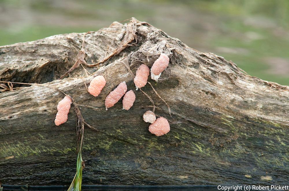 Eggs of Apple Snails, Pomacea sp, Panama, Central America, Gamboa Reserve, Parque Nacional Soberania, laid on wood at edge of water
