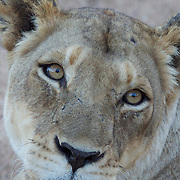 Portrait of female African lion. Timbavati Private Nature Reserve. South Africa.