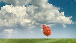 Red autumn tree blowing in the wind on a grassy hillside with dramatic clouds  VA1-803-266