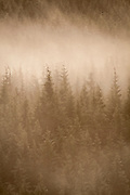 fog among trees in the coastal mountains at sunrise. Clatsop State Forest, Oregon.