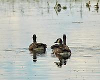 Canada Goose. Arapaho National Wildlife Refuge, Colorado. Image taken with a Nikon D300 camera and 80-400 mm VR lens.