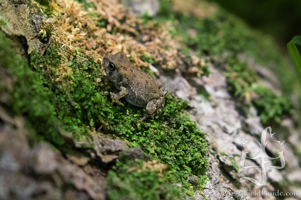 Tiny, tiny frogs from Umstead Park in Raleigh, NC. These frogs were about the size of my pinky fingernail.