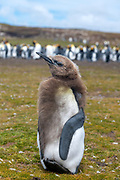 Subadult king penguin (Aptenodytes patagonicus) molting at Volunteer Point, the Falklands.