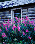 Summer bloom of fireweed by abandoned historic log cabin near the Nares River and Lake Bennett in Carcross, Yukon Territory, Canada.