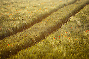 Poppys and tractor tracks in a field in the English countryside, UK