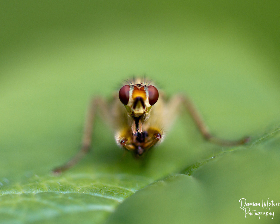 Yellow Dung Fly, Scathophaga stercoraria, macro image resting on green leaf head on with focus on large eyes
