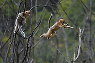 A jumping Golden Snub-nosed Monkey, Rhinopithecus roxellana, being watched by another one doing a jump to the next tree in Foping Nature Reserve, Shaanxi, China