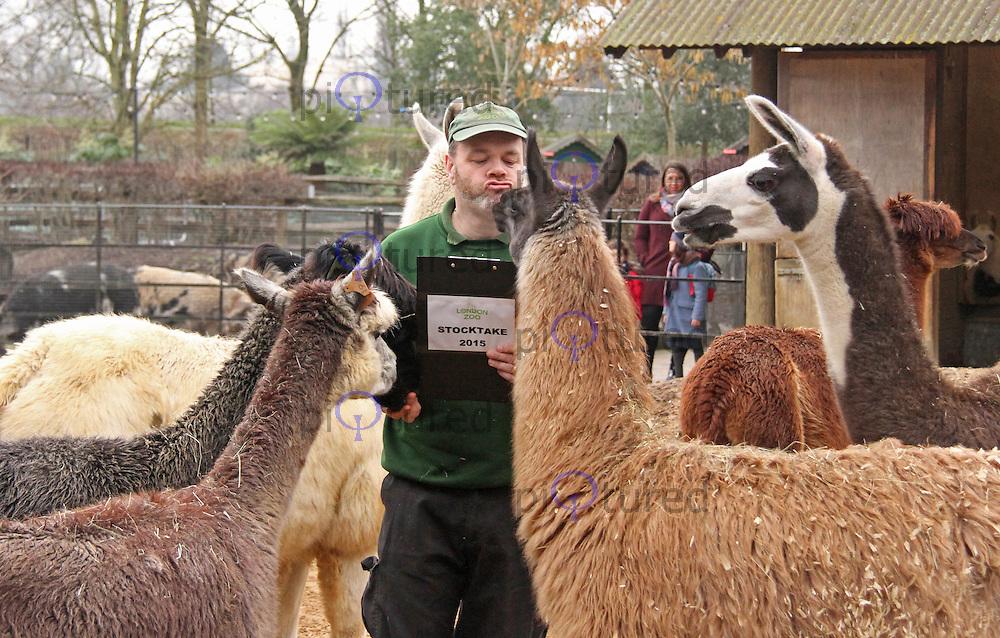 Llamas & Alpacas, ZSL London Zoo Annual Stocktake 2015, Regents Park, London UK, 05 January 2015, Photo By Brett D. Cove