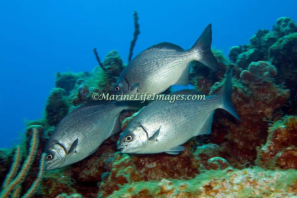 Bermuda-Gray Chub, visually cannot be reliably distinguished, inhabit reefs and adjacent areas in Tropical Atlantic, also circumtropical; picture taken Little Cayman 2006.