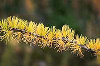 Subalpine Larch (Larix lyallii) needle detail North Cascades Washington