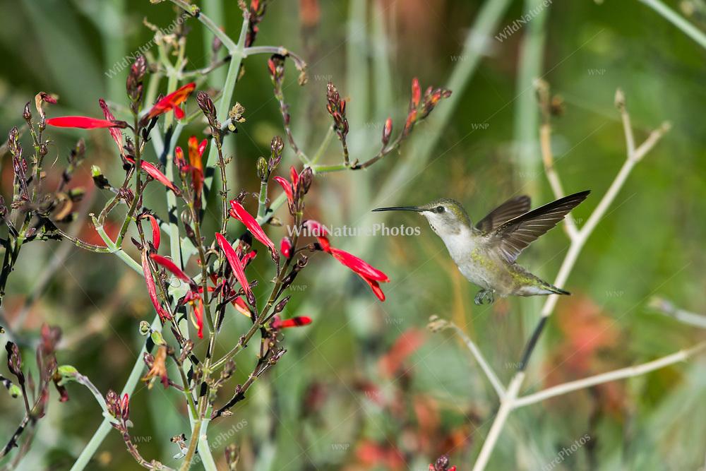 A female Costa's hummingbird (Calypte costae) in flight, feeding on Butterfly Bush aka chuparosa (Justicia californica) (Tucson, Arizona)