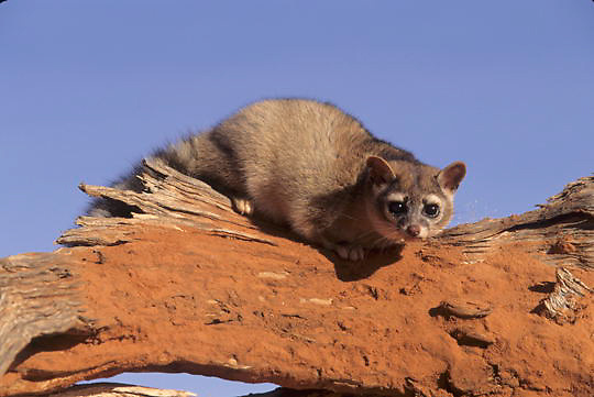 Ringtail, (Bassariscus astutus) In red rcok country of northern Arizona. Captive Animal.
