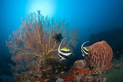 A pair of Reef Bannerfish, Heniochus acuminatus, parade past a barrel sponge and a gorgonian fan coral. Narcondam Island, Andaman Islands, Andaman Sea, India