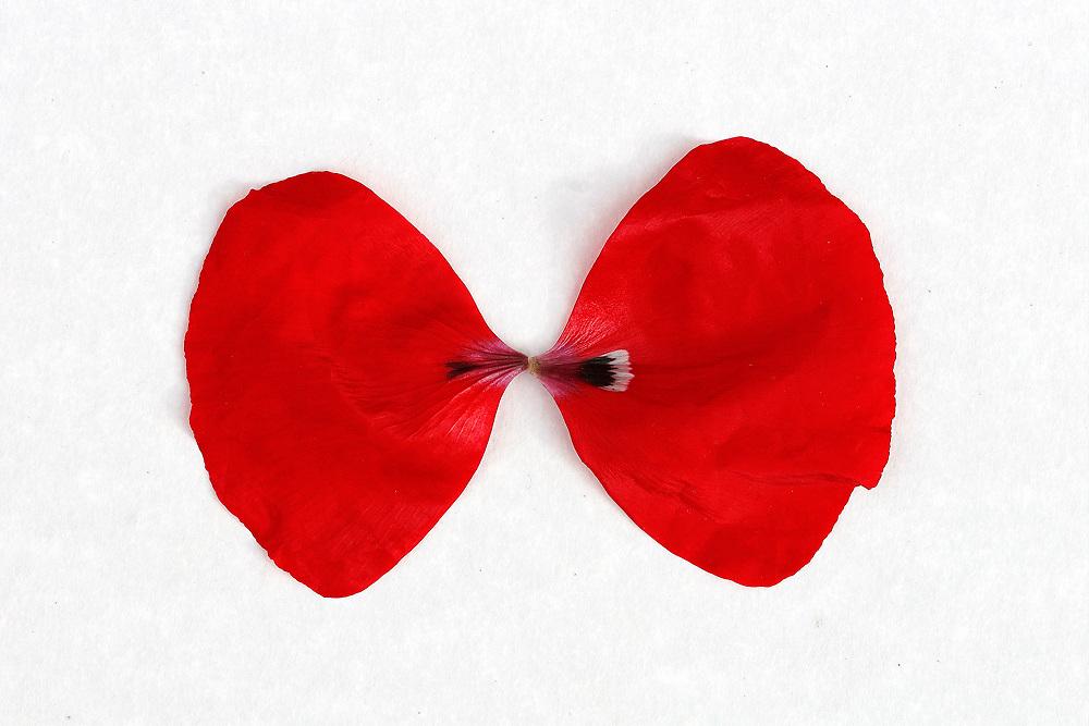Red Poppy Blossoms / fa043