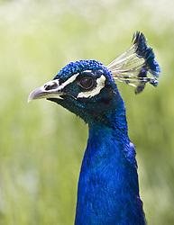 July 21, 2019 - Peacock Head (Credit Image: © John Short/Design Pics via ZUMA Wire)