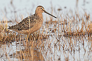 Long-billed Dowitcher - Limnodromus scolopaceus - breeding adult