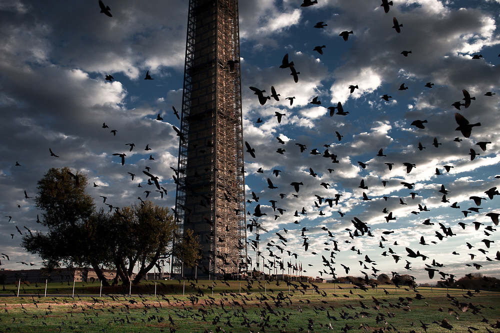 A large flock of birds swoop past the Washington Monument still undergoing repairs in the early morning.