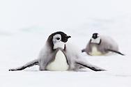 Emperor Penguin (aptenodytes forsteri) chicks, Cape Washington, Antarctica