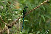 Ecuador, May 23 2010: A Long-tailed Sylph (Aglaicerus kingi mocoa) on a branch. Copyright 2010 Peter Horrell