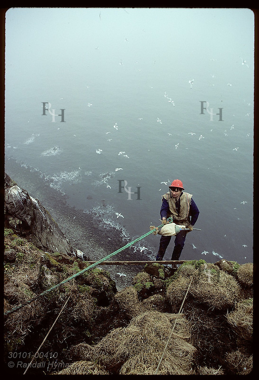 Birds fly far below Bjarni Magnusson as he backs down cliff on rope to get murre eggs; Grimsey Iceland