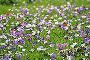 Israel, A field of spring wildflowers Anemone coronaria (Poppy Anemone). This wildflower can appear in several colours. Mainly red, purple, blue and white