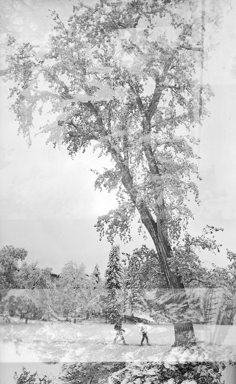 Multiple exposure of a tall cottonwood (Populus sp.) tree covered in snow on the University of Colorado campus in Boulder, Colorado.