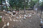 free range chickens in an enclosure. Photographed in Kibbutz Harduf, Israel