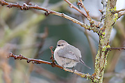 A female bushtit (Psaltriparus minimus) rests in a tree in Snohomish County, Washington. The bushtit is one of North America's smallest birds with a wingspan of just 6 inches and a weight of just over 5 grams. Bushtits commonly feed in large flocks.
