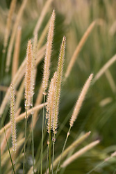 Pennisetum macrourum. African feather grass