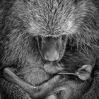 Baby baboon being held by mama, Botswana