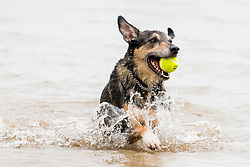 Wallace happy to be back on firm ground Hornsea dog friendly beach<br /> <br />  03 August 2018<br />  Copyright Paul David Drabble<br />  www.pauldaviddrabble.co.uk