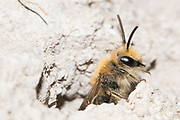 Ivy bee (Colletes hederae) at nest burrow entrance. Sussex, UK.
