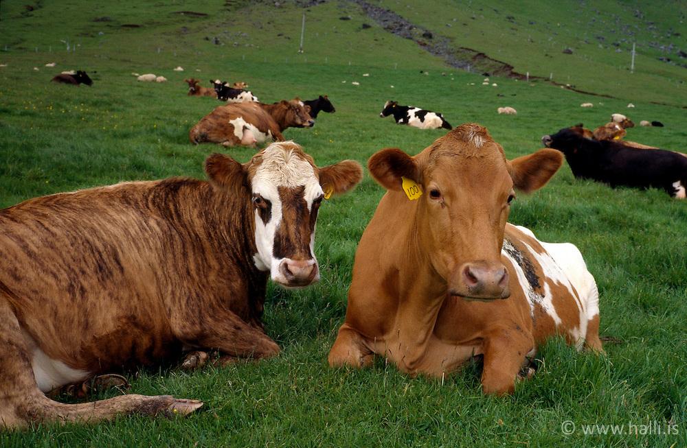 Kýr undir Eyjafjöllum / Cows near Eyjafjoll