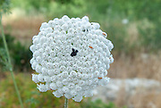 Daucus carota (common names include wild carrot, bird's nest, bishop's lace, and Queen Anne's lace). Photographed in May in the Jerusalem region, Israel
