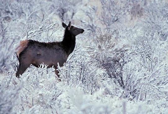 Elk, (Cervus elaphus) Yearling in snow covered sagebrush. Winter.