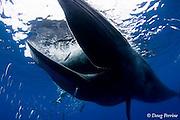 Bryde's whale, Balaenoptera brydei or Balaenoptera edeni, feeding on baitball of sardines, Sardinops sagax, off Baja California, Mexico ( Eastern Pacific Ocean ); photographer Nathan Meadows in background