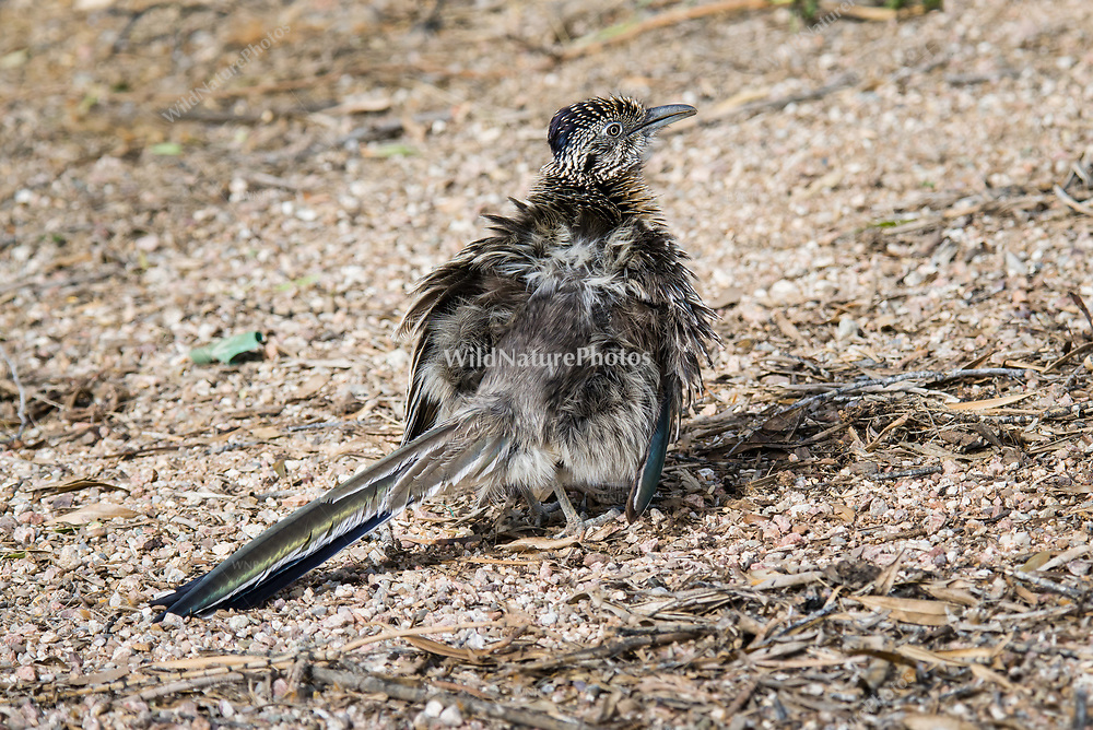 Greater Roadrunner (Geococcyx californianus) female, fluffed up in the sun showing iridescent feathers. (Tucson, Arizona)