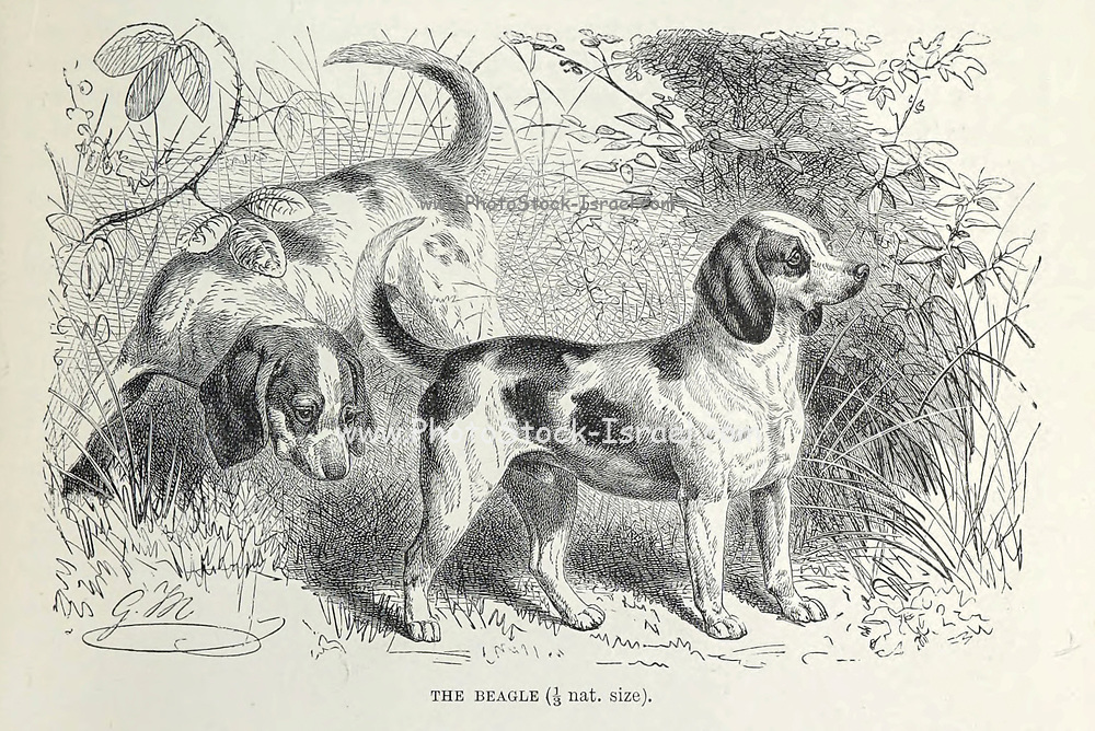 The Beagle The beagle was developed primarily for hunting hare (beagling). Possessing a great sense of smell and superior tracking instincts, the beagle is the primary breed used as a detection dog for prohibited agricultural imports and foodstuffs in quarantine around the world. The beagle is intelligent. It is a popular pet due to its size, good temper, and a lack of inherited health problems. From the book ' Royal Natural History ' Volume 1 Section II Edited by  Richard Lydekker, Published in London by Frederick Warne & Co in 1893-1894