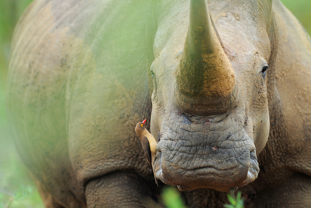 White rhinoceros, Ceratotherium simum, iMfolozi National Park, KwaZulu Natal, South Africa. It has a red-billed oxpecker, Buphagus erythrorhynchus, sitting on its cheek, looking for ticks to eat.
