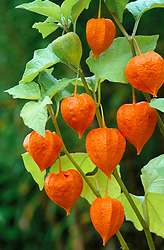 The papery red calyces of Physalis alkekengi - Chinese lanterns, Japanese lanterns