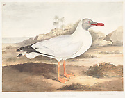 Brown-headed gull (Larus brunnicephalus) 18th century watercolor painting by Elizabeth Gwillim. Lady Elizabeth Symonds Gwillim (21 April 1763 – 21 December 1807) was an artist married to Sir Henry Gwillim, Puisne Judge at the Madras high court until 1808. Lady Gwillim painted a series of about 200 watercolours of Indian birds. Produced about 20 years before John James Audubon, her work has been acclaimed for its accuracy and natural postures as they were drawn from observations of the birds in life. She also painted fishes and flowers. McGill University Library and Archives