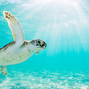 Green sea turtle (Chelonia mydas) near the surface in shallow water in The Bahamas.