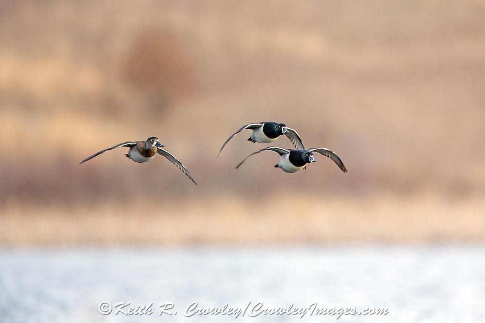 Ringnecked ducks in flight