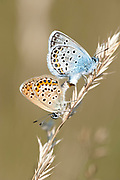 Common Blue Butterflies, pair mating, Polyommatus icarus, Cartisoara, Brasov, Transylvania, Romania, male female, together, backlight, butterfly