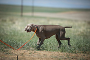SHOT 5/9/20 11:22:13 AM - Various pointing breeds compete in the Vizsla Club of Colorado Licensed Hunt Test Premium at the Rocky Mountain Sporting Dog Club Grounds in Keenesburg, Co. (Photo by Marc Piscotty / © 2020)