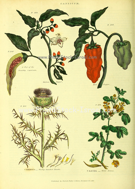 Capasicum [Guinea Pepper, Bell Peppers] Carduus [Woolly-Headed Thistle] Cassia [Wild Senna] from Vol 1 of the book The universal herbal : or botanical, medical and agricultural dictionary : containing an account of all known plants in the world, arranged according to the Linnean system. Specifying the uses to which they are or may be applied By Thomas Green,  Published in 1816 by Nuttall, Fisher & Co. in Liverpool and Printed at the Caxton Press by H. Fisher