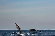 eastern spinner dolphins, Stenella longirostris orientalis, jumping, offshore from southern Costa Rica, Central America ( Eastern Pacific Ocean )